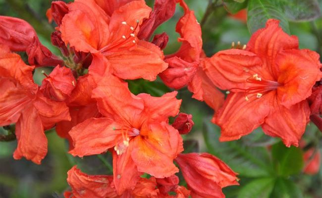 "Рододендрон листопадный (Азалия крупноцветковая) ""Фейерверк"" Rhododendron hybr. 'Feuerwerk'"