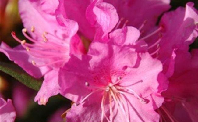 Рододендрон Каролистный Элит вечнозеленый (саженцы)