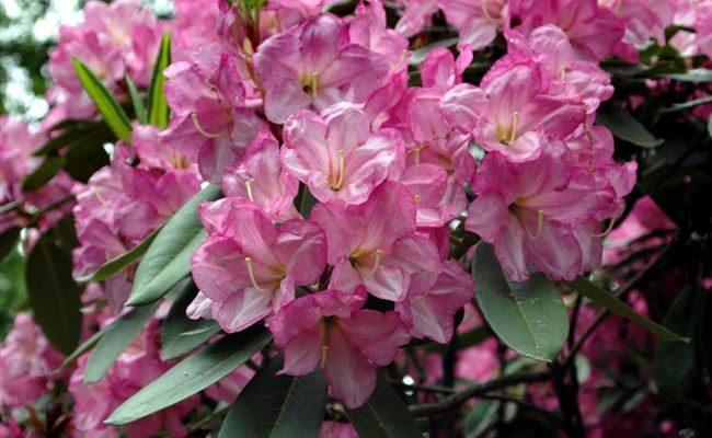 Самые красивые и устойчивые сорта рододендронов для вашего сада
