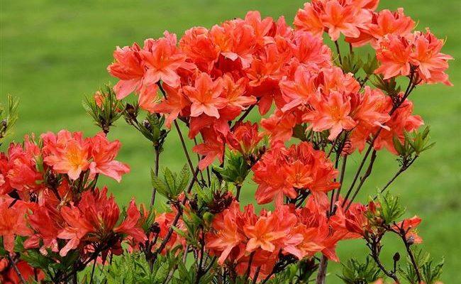 Обязателен в японском саду - Рододендрон японский