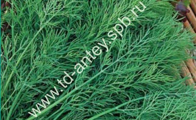 Описание сорта укропа Аврора, особенности выращивания и ухода