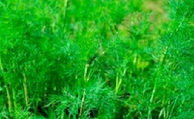 Амбрелла - сорт растения Укроп