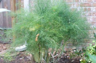 Как вырастить кустовой укроп в открытом грунте