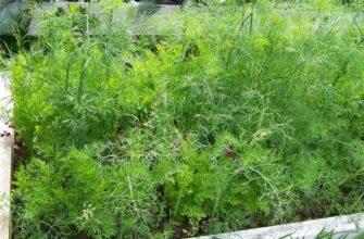 Сорта укропа с фото и описанием — 19 лучших для выращивания в открытом грунте, теплице и на подоконнике