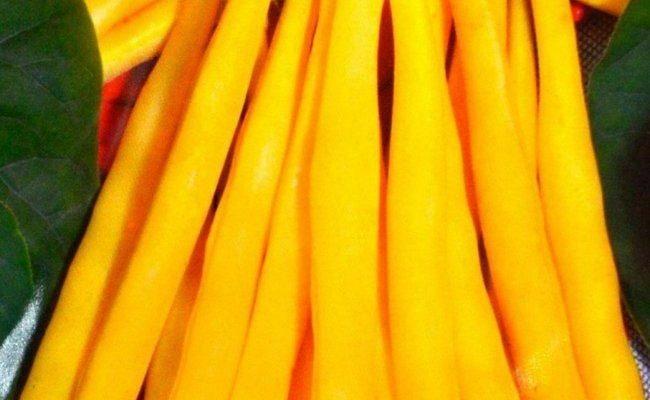 Фасоль спаржевая кустовая 'Масляный король'