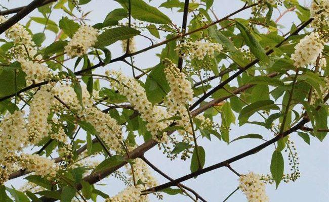 """Черемуха обыкновенная """"Ватерери"""" Prunus padus 'Watereri'"""