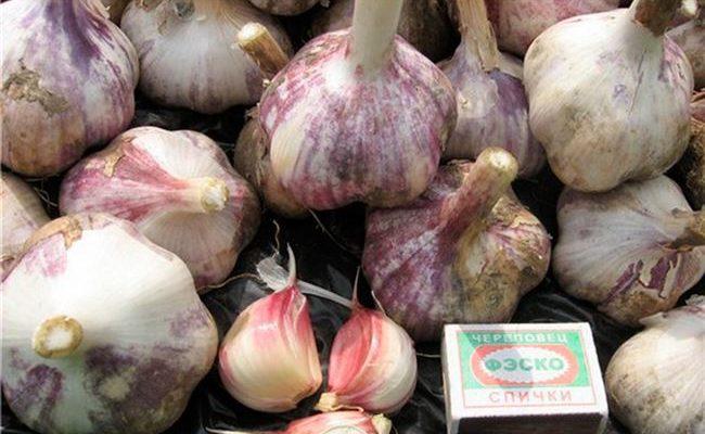 Описание сорта чеснока Алькор, особенности выращивания и ухода