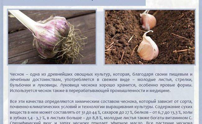 Описание чеснока Гулливер и выращивание сорта на открытых грядках