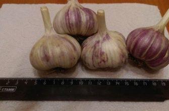 Описание озимого чеснока сорта Скиф, посадка и выращивание