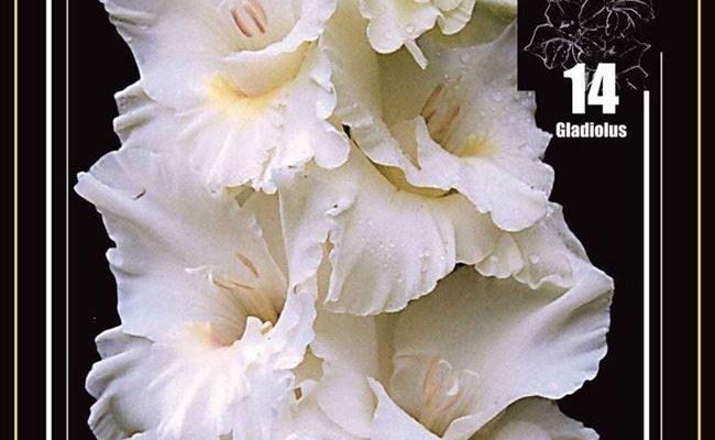 Белый Орел - сорт растения Гладиолус