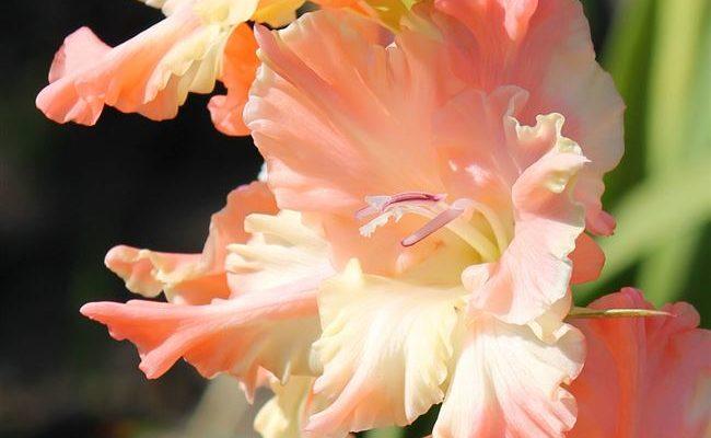 Дочь Настасьи - сорт растения Гладиолус