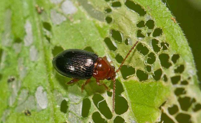 Земляничный листоед: причины появления и меры борьбы