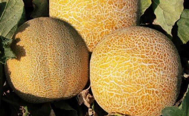 Аль Халим - сорт растения Дыня