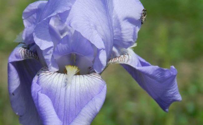 Вальс Катуни - сорт растения Ирис