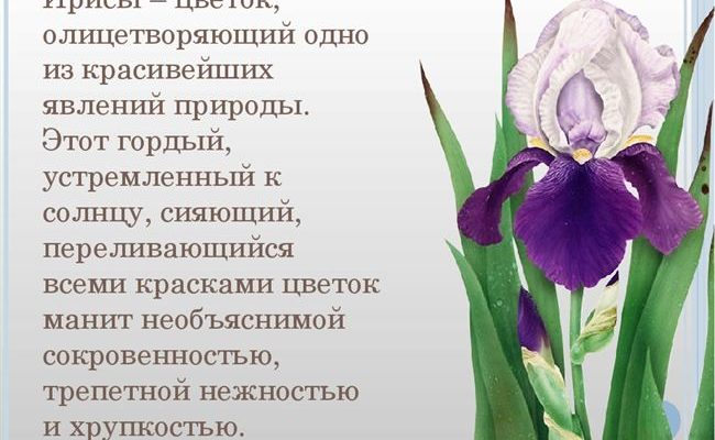 Ирис КАШКАДАН