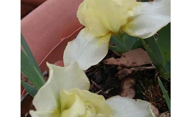 Лемон Пафф - сорт растения Ирис