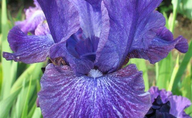 Натали - сорт растения Ирис