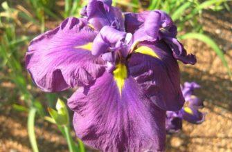 Подарок Пальчиковой - сорт растения Ирис