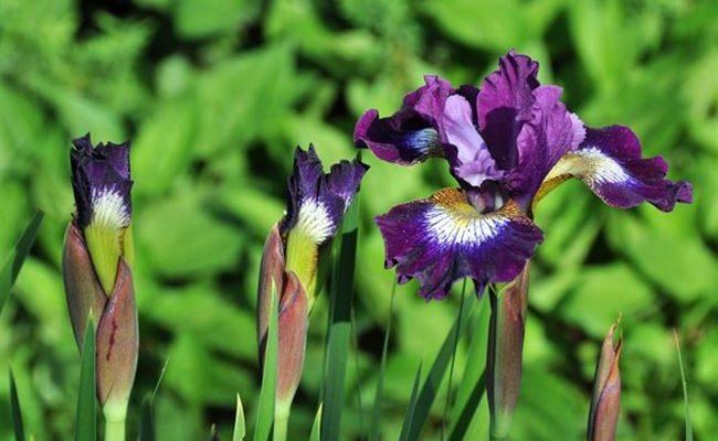 Растение ирис: характеристика и описание. Популярные сорта