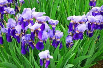 Популярные сорта ирисов для вашего сада