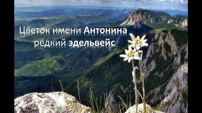 Цветок имени Антонина – эдельвейс