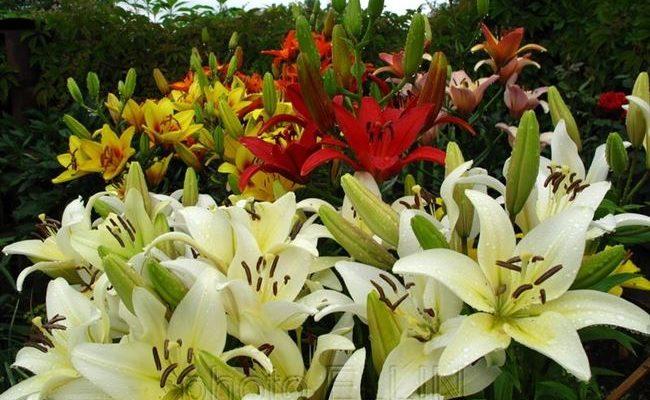 Выбираем для своего цветника лучшие сорта лилий