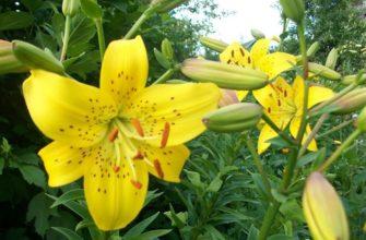 Натмегер - сорт растения Лилия