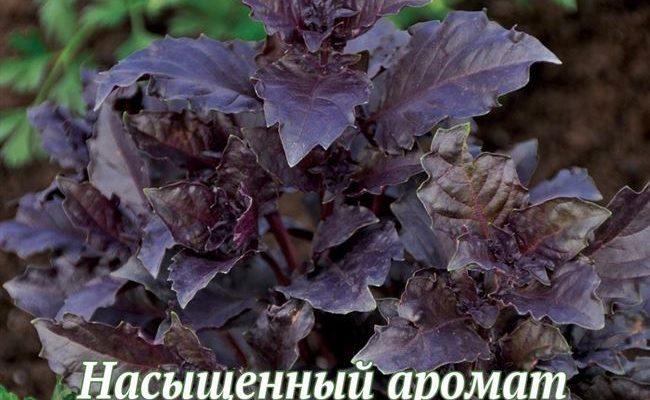 Базилик фиолетовый (арарат, ереванский): польза и вред для здоровья