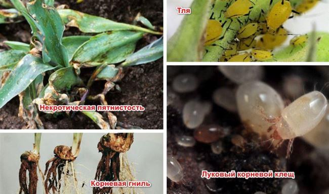 Как бороться с корневыми и луковичными клещами?