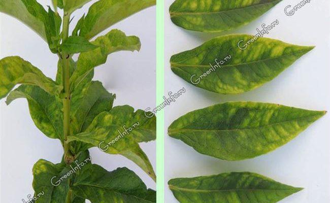 Курчавость на листьях флоксов