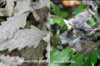 Хризантемы и мучнистая роса