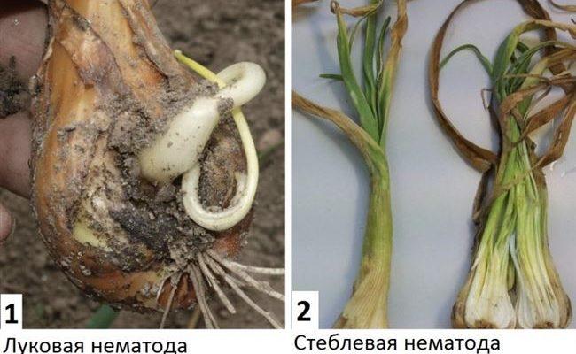 Как бороться с вредителями тюльпанов
