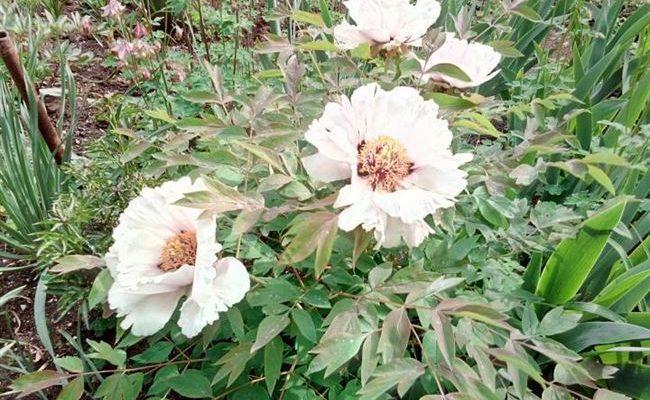 """Отзыв: Пион древовидный """"Анастасия Сосновец"""" - Цветок, необыкновенно красивый в своей простоте."""