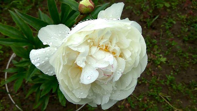 Белый Новосибирский - сорт растения Пион