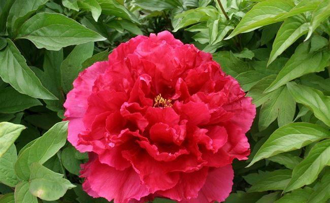 Красный Шар - сорт растения Пион