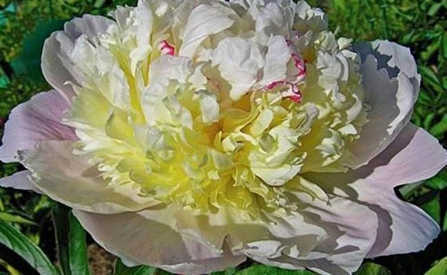 Peachy Rose (Пичи Роуз)