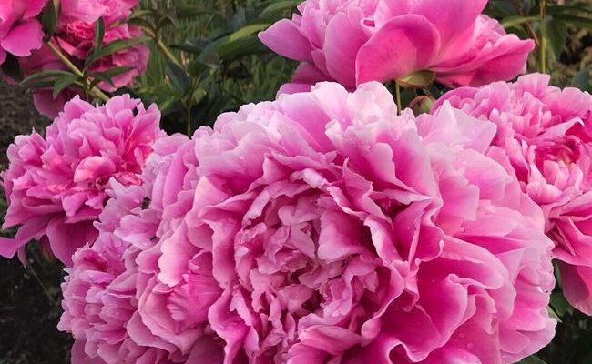 Розовая Дымка - сорт растения Пион