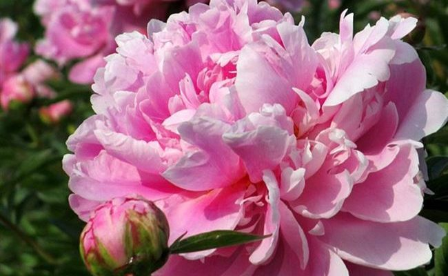 Пион молочноцветковый Уфимские зори
