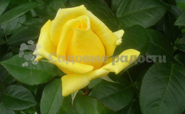Характеристика и описание розы Ландора, особенности её выращивания