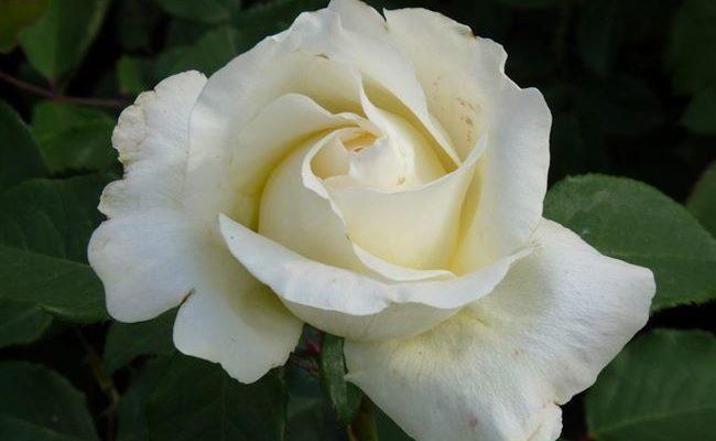 Pascali — чайно-гибридная роза с романтической внешностью и хорошей морозостойкостью