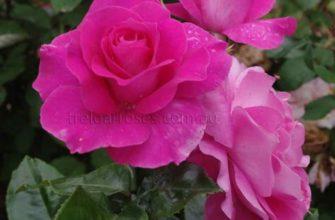 Французский шарм роз Мейян