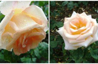 Эмми - сорт растения Роза