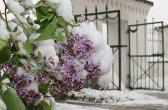 Сирень Снег в Мае