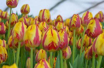 Рекомендуемые сорта тюльпанов для выгонки