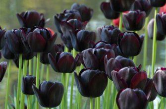 Черные тюльпаны: описание, сорта и выращивание