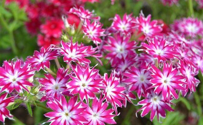 Цветы-звезды для вашей клумбы - однолетний флокс Друммонда