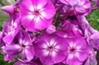 Флокс метельчатый 'Успех' (Phlox paniculata 'Uspech')