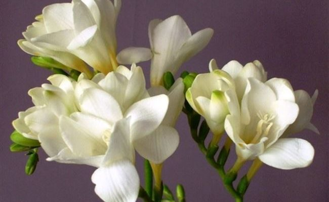 Ангел - сорт растения Фрезия