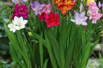 Фрезия: уход, выращивание в домашних условиях и саду