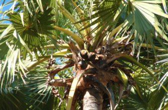 Пальмировая пальма